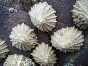 Common_limpets1